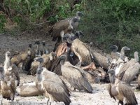Vultures on a carcass, Chobe NP, Botswana