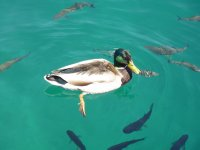 Duck and clear water, Plitvice Lakes National Park