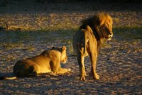 Lions at sunrise