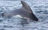 Pilot whale upclose, Nova Scotia