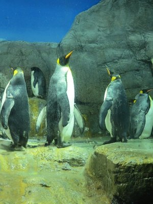 King penguins!