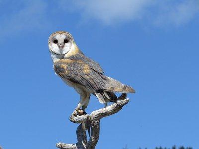 A barn owl!