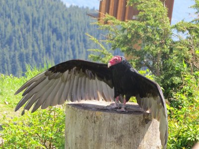A turkey vulture! (my favourite.)