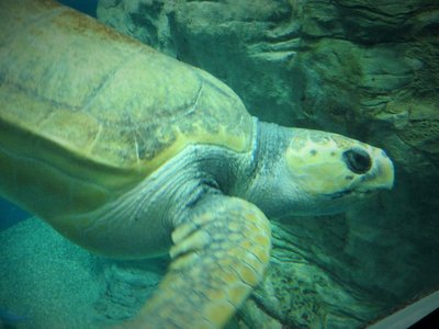 Mr. Loggerhead Sea Turtle