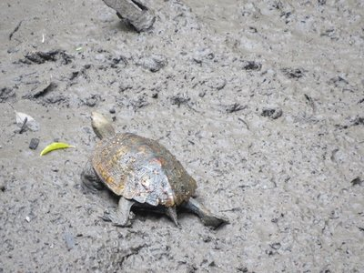 I spotted a turtle making his way across the mud!