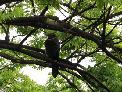 A large Osakan crow near Osaka Castle. Well, I shouldn't say large, because all of the crows in Osaka seem to be this size!
