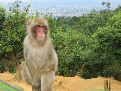 Scenic Monkey (with a view of Kyoto in the background).