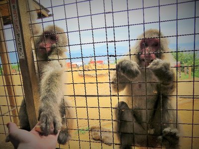I bought a bag of peanuts and fed the monkeys... they're taking it right from my hand!