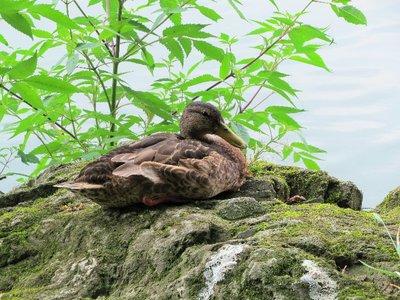 Mrs. Duck.