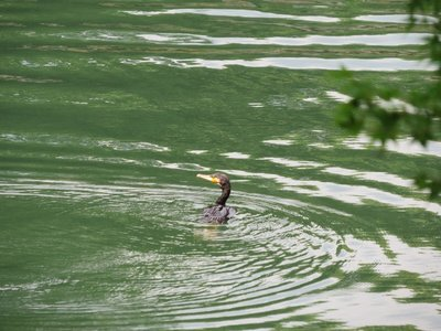 This guy was diving deep down into the water... was hard to catch a picture!