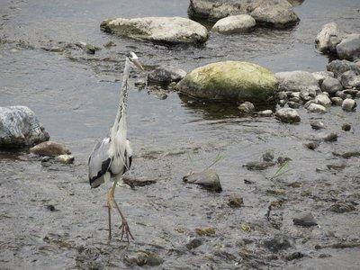 A Grey Heron.