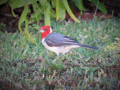 Hawaiian bird.