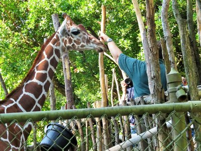 People could pay to feed the giraffe.