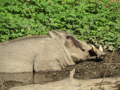 The warthogs were my favourite part of the Woodland Park Zoo.