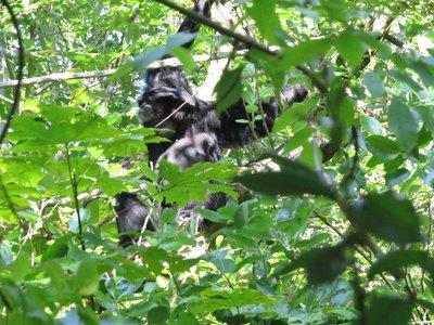 A singing duet monkey.