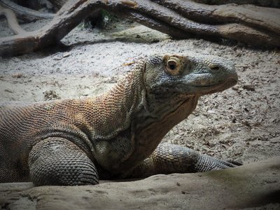 Mr. Komodo Dragon.