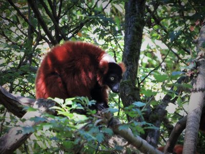 The Red Ruffed Lemur