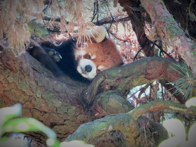 Sleepy Red Panda... so adorable!
