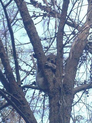 90_5__A_wild_koala.jpg
