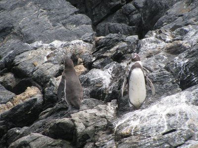 Penguins on La Serena Day Trip
