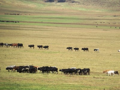 Savanah and cattle below the Ngorongoro Crater