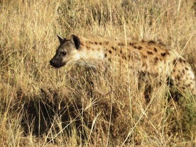 A hyena in the Serengeti, Tanzania