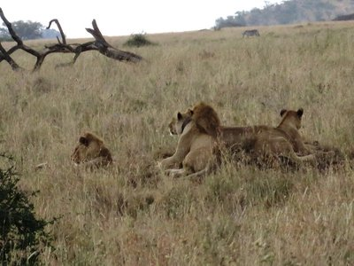 Male lion surrounded by his females, Serengeti, Tanzania