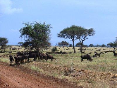 Serengeti wildebeest, Tanzania