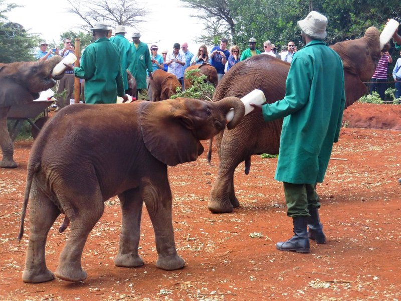 Feeding time at the David Sheldrick Wildlife Trust centre, Nairobi