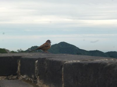 Small unscared birdie on the Great scaring Wall