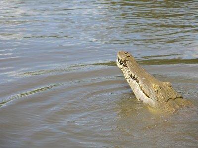 IMG_2506Crocodile