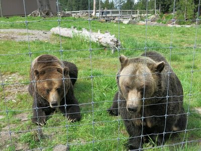 Bears at Grouse Mountain