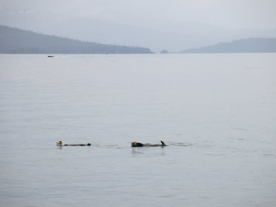 Sea Otters in Kachemak Bay