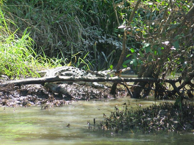 IMG_2478Crocodile