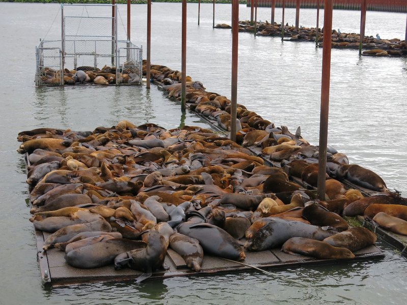 Sea lions in Astoria Wash