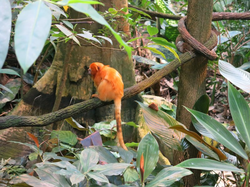 Golden Tamarind Monkey at the Biodome