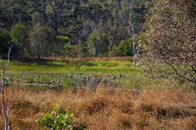 Magpie Geese at waterhole south of Cooktown