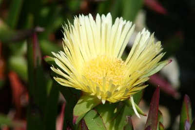 Cape Point Flower
