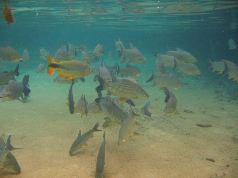 Bonito fish