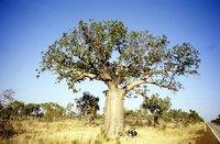 Botle Tree