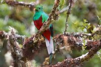 A young male quetzal