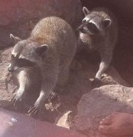 2racoons
