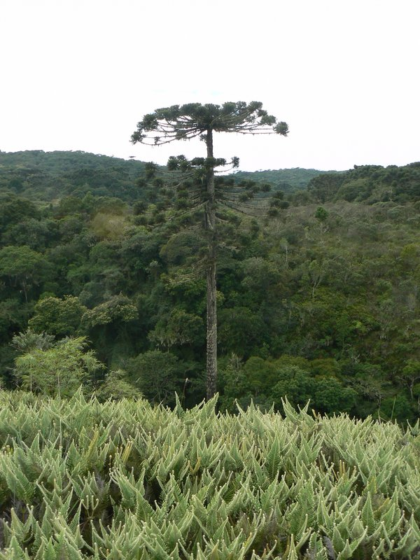 Big pine tree in Canyon Itaimbezinho