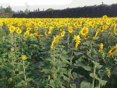 Abignan's sunflowers