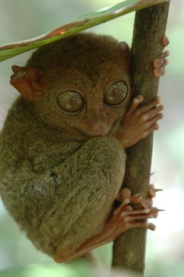 Another Tarsier