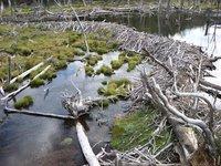 Tierra del Fuego, beaver dam