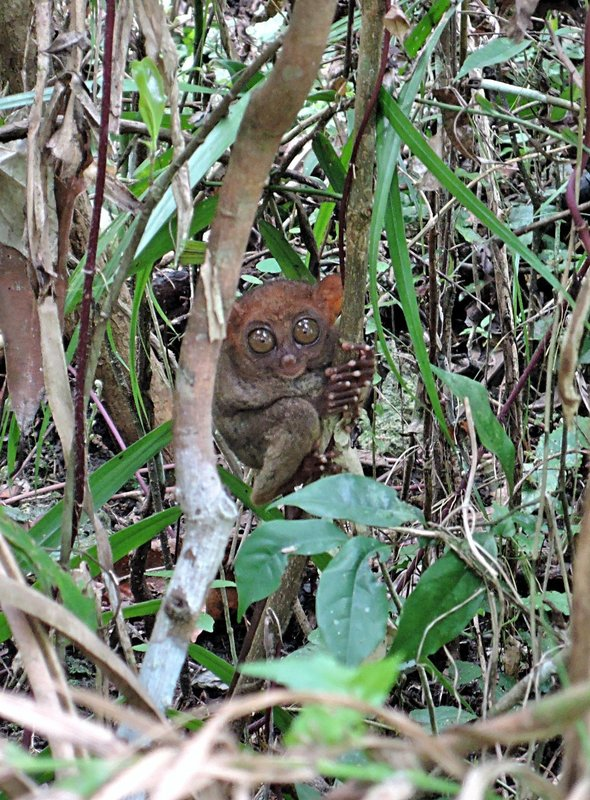 this is a full-grown adult Tarsier