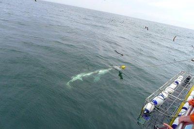 sharkdiving1.jpg