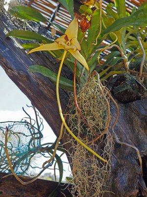 Darwins_orchid.jpg
