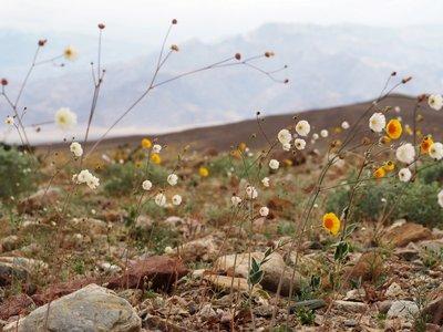 Desert_sun..wooly_daisy.jpg
